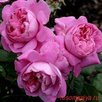 Мэри Роз (Mary Rose)